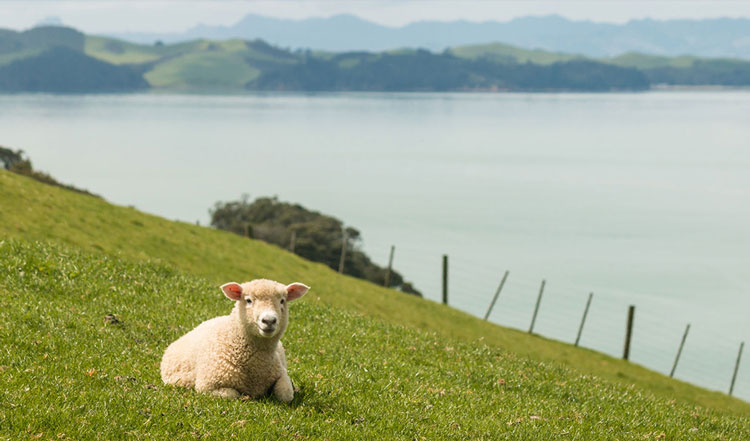 Sheep and lake